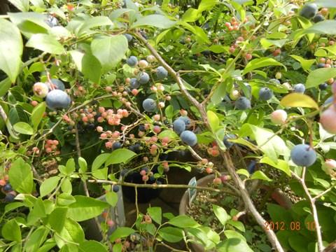 blueberry120810.jpg