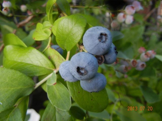 blueberrywoodard130720.jpg