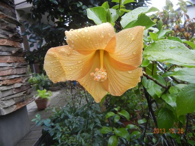hibiscus131026.jpg