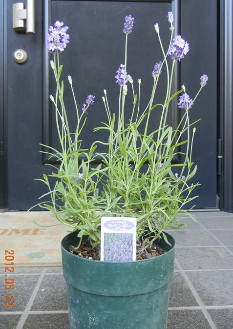 lavenderEN120524.jpg