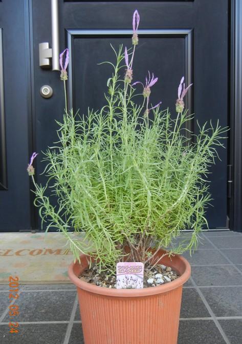 lavenderFR120524.jpg
