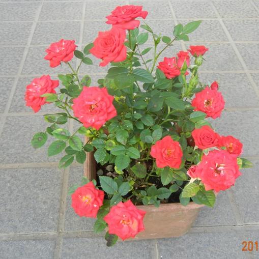 minibara_redbarom120527.jpg