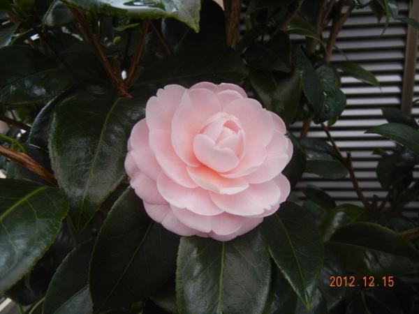 otometsubaki121215.jpg