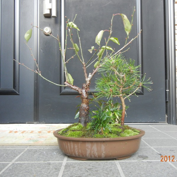 shochikubai121201b.jpg