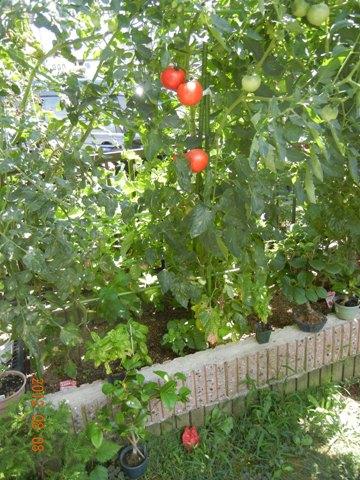 tomato120808.jpg
