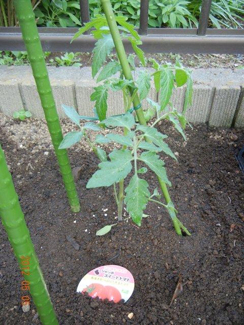 tomatouetsuke120505.jpg