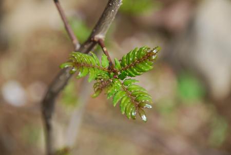木の芽41