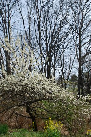 スモモと欅と菜の花57