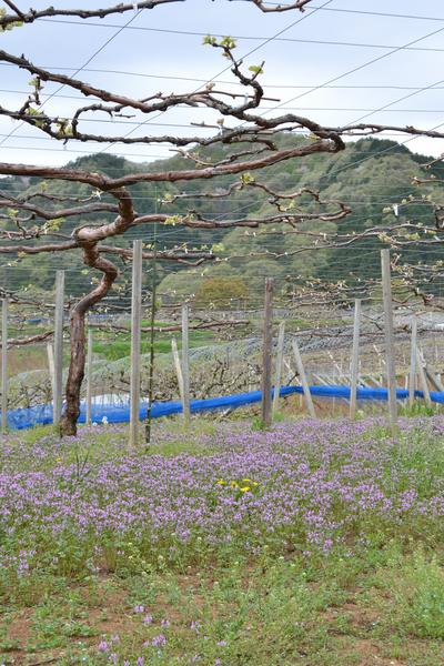 ぶどう棚の風景71-400