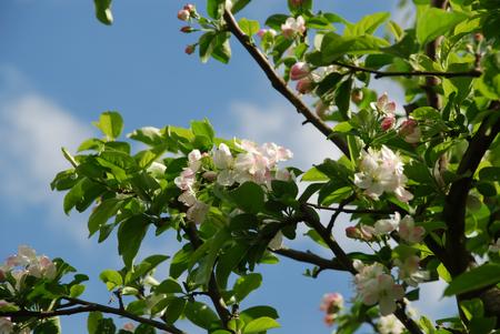 姫りんごの花1