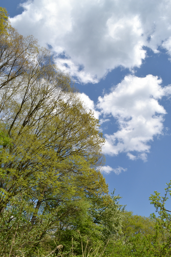 青い空と白い雲と欅の緑124