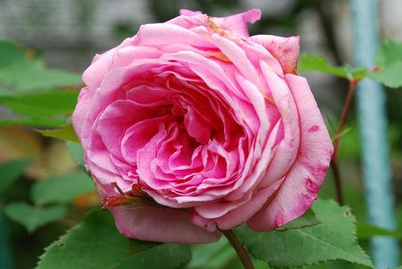 バラの香り6