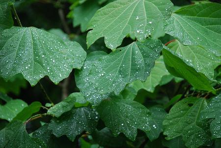 雨にぬれたダンコウバイ25