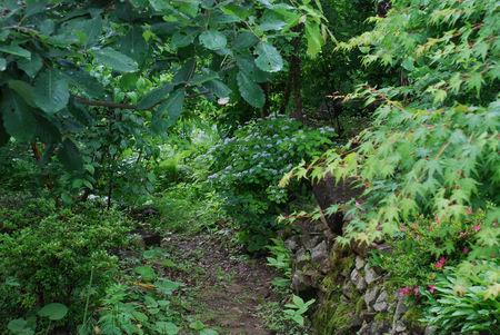 コアジサイの庭18