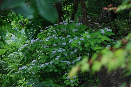 こあじさいの庭19