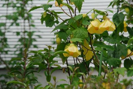 黄色のアブチロン22
