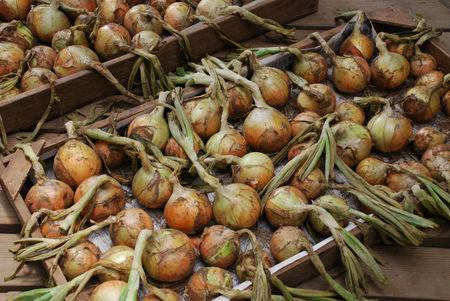 玉ねぎの収穫26