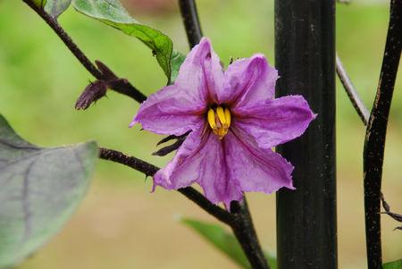 茄子の花1-17