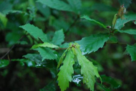小楢の葉1