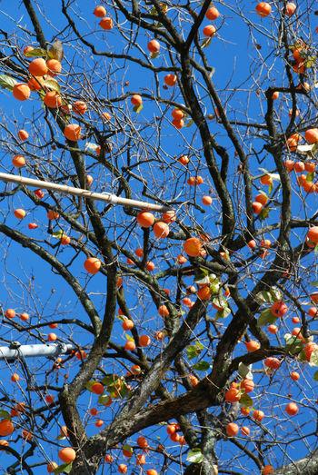 青空と百匁柿12