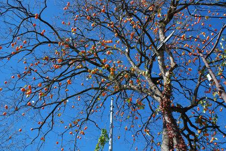 青空と百匁柿15
