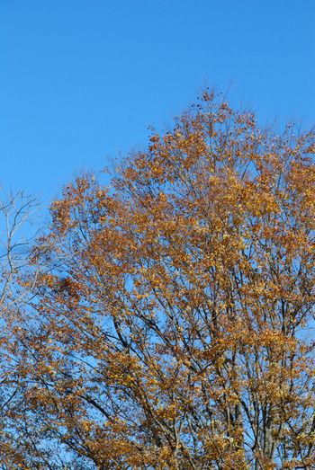 キラキラ金色に輝く大木3