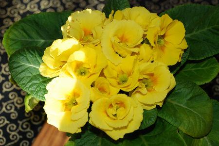 黄色のジュリアン5