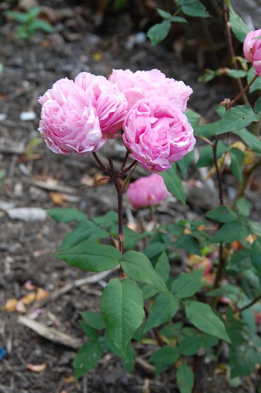 2012-08 rose (3)