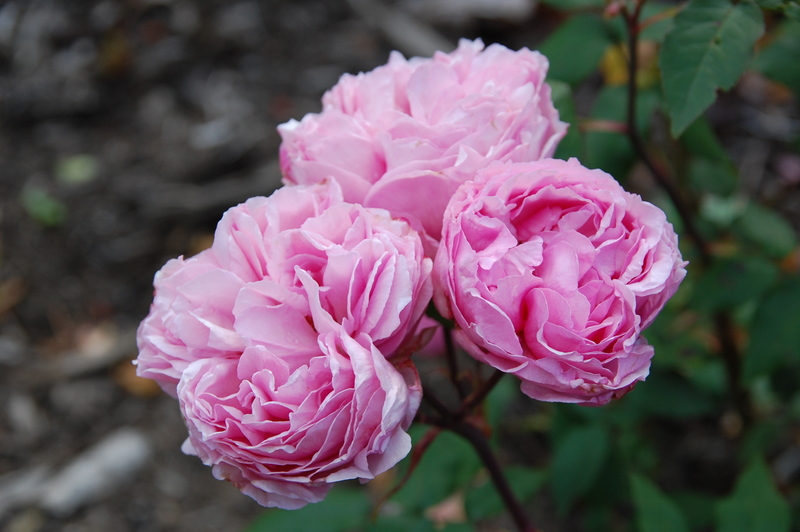 2012-08 rose (2)
