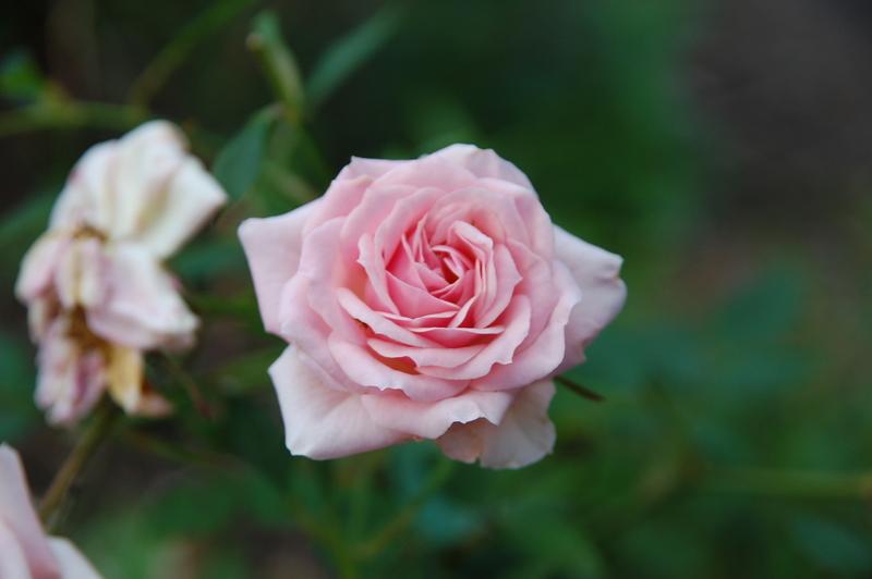 2012-08 rose (5)