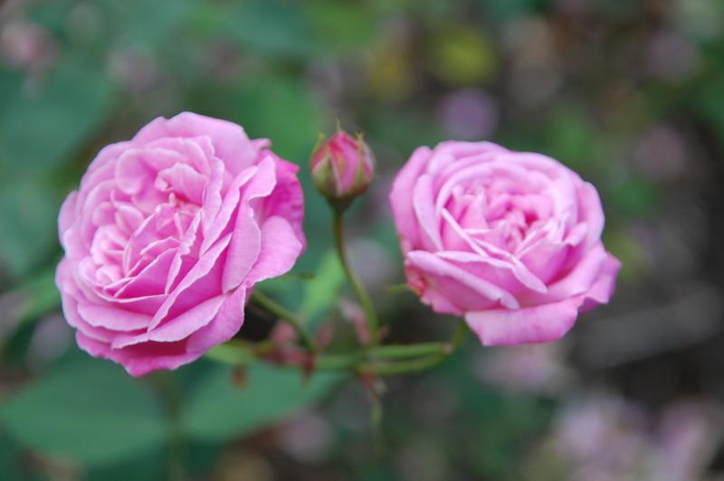 2012-08 rose (12)