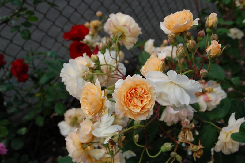 2012-08 rose (19)