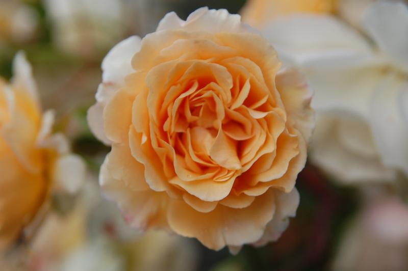 2012-08 rose (18)
