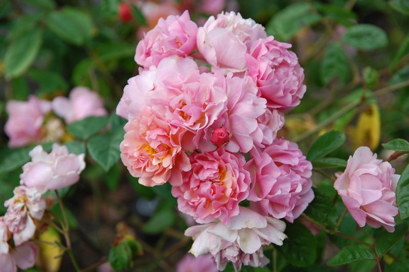 2012-08 rose (23)