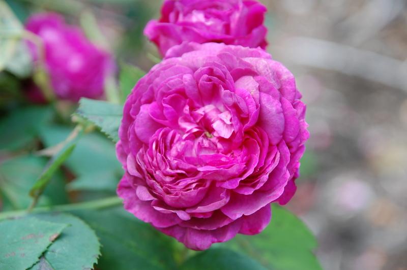2012-08 rose (31)