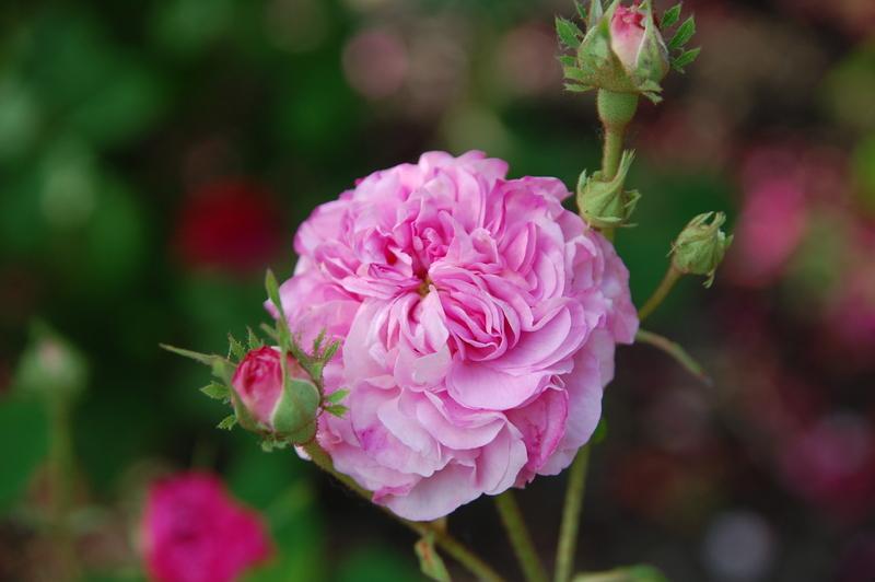 2012-08 rose (36)