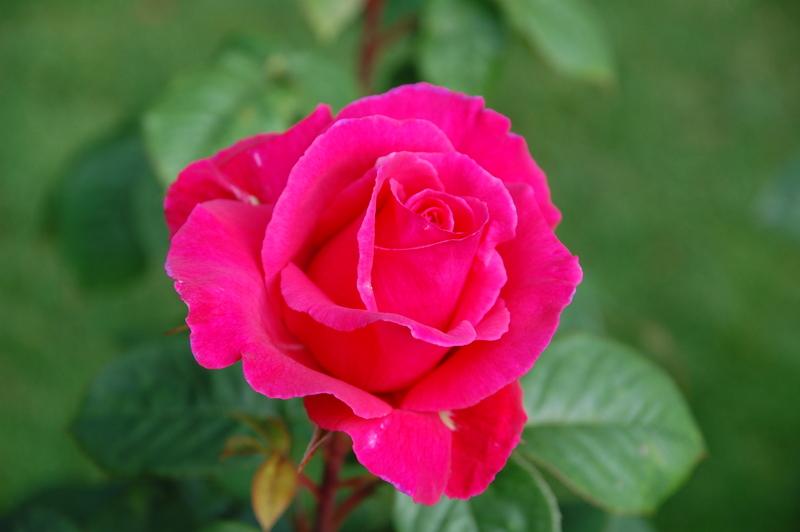 2012-08 rose (39)