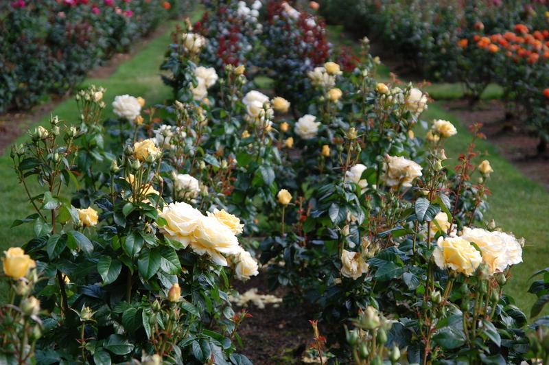 2012-08 rose (44)