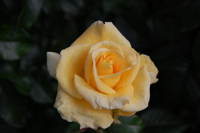 2012-08 rose (43)