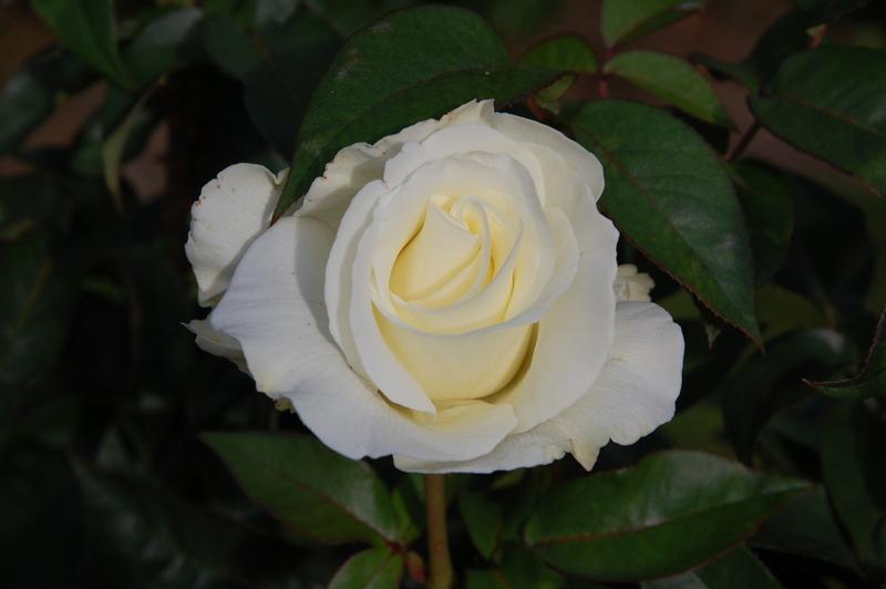 2012-08 rose (48)