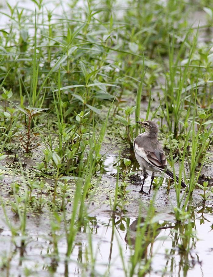 ハクセキレイの幼鳥IMG_3446