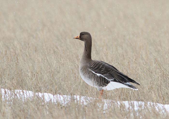2013-1-4マガン幼鳥resize1577