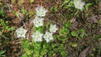 シラヒゲ草