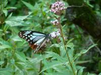 フジバカマとアサギマダラ蝶1