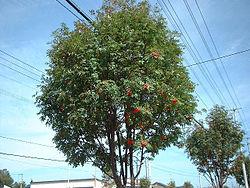 250px-Nanakamado_tree.jpg