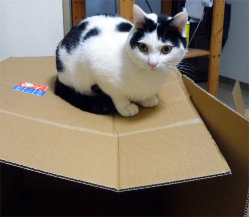 ダンボールに乗る猫