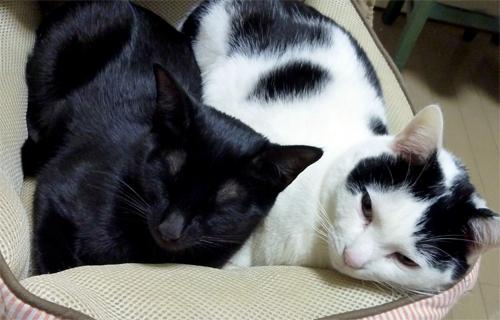 白黒猫と黒猫一緒に寝る