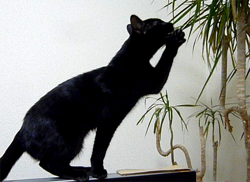 観葉植物をかじる黒猫