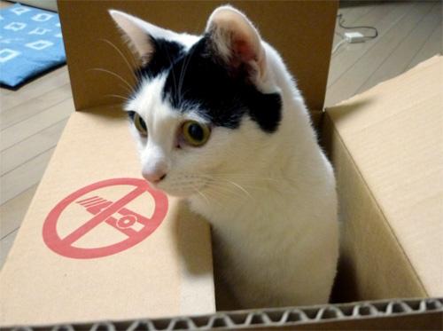 段ボール箱から顔を出す猫