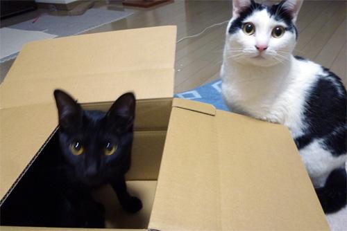 ダンボール箱の猫